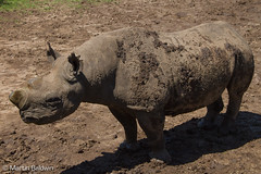 Baraka - A Northern Black Rhino (MartinBaldwin) Tags: africa nature blessings spring seasons blind kenya year conservation safari ambassador mammalia locations 2012 sweetwaters oneeyed baraka gamereserve endangeredspecies blackrhinocerous africanmammals morani kifaru olpejeta olpejetaconservancy dicerousbicomis rhinosandhippos