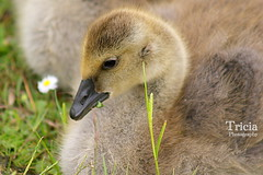A    beautiful bundle of fluff (Patricia Speck) Tags: baby lake canada green eye grass landscape eating beak feathers fluffy goose gosling tasting tricia patricia speck