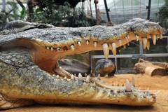 crocodylus niloticus (Joachim S. Müller) Tags: animal germany deutschland zoo reptile köln crocodile nordrheinwestfalen tier echse reptil krokodil crocodylus kölnerzoo nilecrocodile zooköln crocodylusniloticus nilkrokodil tamronaf18270mmf3563 commoncrocodile