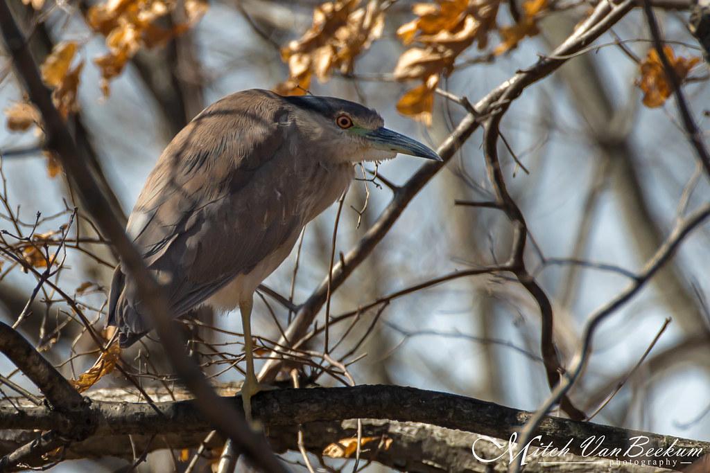 Elude Me No More! (Black-crowned Night Heron)