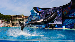 Falling Sideways (lolilujah) Tags: world ocean show california ca sea train swimming one aquarium high jumping san stadium diego sd soak resolution orca splash captive seaworld shamu trainer zone captivity splashing cetacean trained blackfish lolilujah