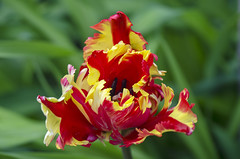Parrot Tulip (Tulipa) (Barnacle Bill Simmons) Tags: uk parrot tulip eastsussex seaford