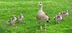 Egyptian geese (Elisa1880) Tags: netherlands geese den goose gans egyptian haag nijlgans