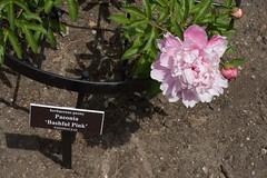 Bashful (JenGallardo) Tags: nyc pink ny newyork bronx nybg newyorkbotanicalgarden paeonia bashfulpink