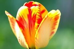 Tulip Bokeh (CCphotoworks) Tags: may2016 mayflowers spring macroflower singleflower macrotulip redandyellowtulip springflowers singletulip tulip ccphotoworks