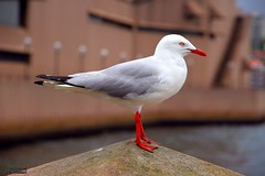 Silver Gull (Chroicocephalus novaehollandiae) (Mahmoud R Maheri) Tags: bird gull sydney australia waterbird parramatta silvergull chroicocephalusnovaehollandiae