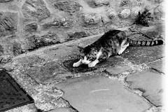 Il gatto di Montevettolini (Toscana) (michele.palombi) Tags: camera hp5 toscana gatto ilford oscura montevettolini