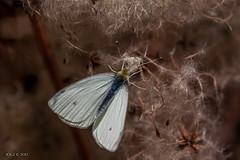 Leipzig, Auwald, Kohlweiling (joergpeterjunk) Tags: outdoor leipzig insekt tier schmetterling auwald canoneos50d kohlweisling canonef100mmf28lmacroisusm