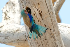 Lilac-breasted Roller (palmchat) Tags: africa southafrica wildlife krugernationalpark kruger africanwildlife christiannunes