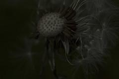 Dark and Twisty - Dandelion Seed-Head May 2016 (GOR44Photographic@Gmail.com) Tags: wild flower macro canon 100mm dandelion seedhead hatfield 100mmf28 canon100mm 60d gor44