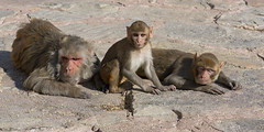 J77A2716 -- A family of Red-faced Monkeys at the Nahargarh Fort, in Jaipur, India (Nils Axel Braathen) Tags: india animals canon asia wildlife canoneos5dmarkiii