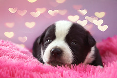 Cutipie  (Spahi Anesa) Tags: dog cute beautiful animal puppy eyes little bokeh whiskers heartwarming lovely