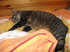 Jonas (ute_hartmann) Tags: cat bett katze jonas kater schlaf