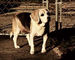 Avalon Sunset (writeonmusic) Tags: sunset portrait dog pet cute beagle animal canon eos rebel 28135mm hounddog 450d rebelxsi