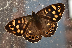 Speckled Wood (mitchell_dawn) Tags: brown macro window nature butterfly insect wings backlit speckledwood springwatch parargeaegeria