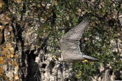 DSC_7079 (paparano) Tags: wild sky italy white black flower tree green bird beautiful beauty birds animal animals fly wildlife volo raptor occhio falco pellegrino