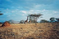 Breakfast for Two (pabs35) Tags: africa sky film tanzania nationalpark fuji minolta superia safari 200 fujifilm giraffe serengeti acacia termitemound serengetinationalpark minoltaafbigfinder believeinfilm