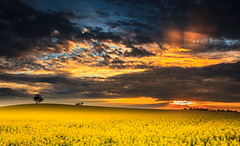Outback canola Farm at Sunset (**James Lee**) Tags: blue sunset sky sunlight flower tree green nature colors beauty field yellow clouds landscape dead outdoors photography image outdoor farm background australia scene victoria backgrounds rays tranquil canola foreground shepparton in jameslee