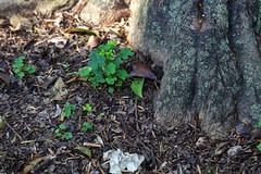 Al Pie (Jos Ramn de Lothlrien) Tags: naturaleza verde nature shamrock chapultepec trebol treboles mxico ciudaddemxico shamrockhunt
