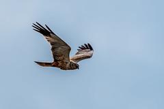 20160519_094503-2.jpg (Sd_neo) Tags: england unitedkingdom flight gb silverdale leightonmoss marshharrier