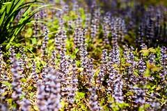 Bugle - Ajuga reptans (Macro light) Tags: flowers spring woods woodlands wildlife trust wildflowers worcestershire bugle ajugareptans monkwood