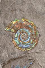 History of Ammolite (The Ammolite) Tags: fossil minerals アンモライ ammolite ammonite rock mineral