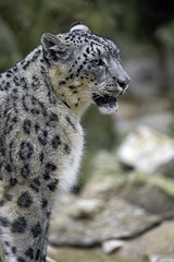 Profile of a sitting snow leopard (Tambako the Jaguar) Tags: standing portrait face profile attentive snowleopard uncia fluffy big wild cat mulhouse zoo france alsace nikon d4