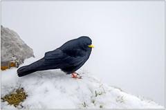 Dohle (Madmyst619) Tags: black alps bird switzerland wildlife luzern peak mount alpine lucerne sow foraging dohle pitalus