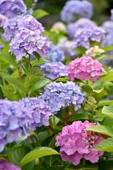 Hydrangea :  (naitokz) Tags: pink plant flower japan purple outdoor hydrangea yokohama        flowercluster    americayamapark