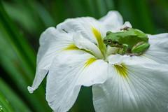 (mk*) Tags: iris frog