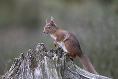 Scotland (richard.mcmanus.) Tags: scotland blackisle redsquirrel squirrel scottishhighlands mcmanus wildlife inverness avoch britishwildlife gettyimages