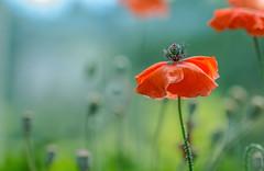 Poppies (12bluros) Tags: flower poppy 1001nights nybg newyorkbotanicalgarden