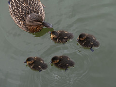 heads up (forkcandles) Tags: brown green water birds bristol outdoors duck wildlife ducklings brood floatingharbour fz1000 forkcandles fz1000panasoniccamera