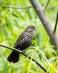 Red-winged Blackbird (Nic.Allen.Birder) Tags: red bird nature female wildlife missouri winged blackbird avian parkville agelaius phoeniceus