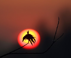 The silhouette of a leaf (Robyn Hooz) Tags: light sunset sun silhouette canon eos tramonto branch dry disk foglia sole ramo luce secco 600d ef70300lis