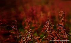Sour Grass (T i s d a l e) Tags: field grass spring weeds nikon farm april 2012 easternnc sourgrass tisdale d7kfie