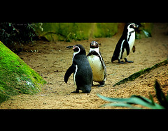 THIS way dude ! (Hajar Al Akoor {..waaay behind in comments..}) Tags: friends sea 3 green film beach nature birds movie lost zoo penguin three funny land cinematic nationalgeographic wheretogo fromthesea ourdailychallenge odc3 hajaralakoor