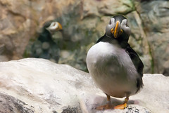"Puffin • <a style=""font-size:0.8em;"" href=""http://www.flickr.com/photos/82709626@N00/6980438382/"" target=""_blank"">View on Flickr</a>"