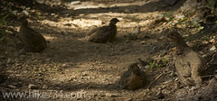 """Dusky Grouse • <a style=""""font-size:0.8em;"""" href=""""http://www.flickr.com/photos/63501323@N07/6997845598/"""" target=""""_blank"""">View on Flickr</a>"""