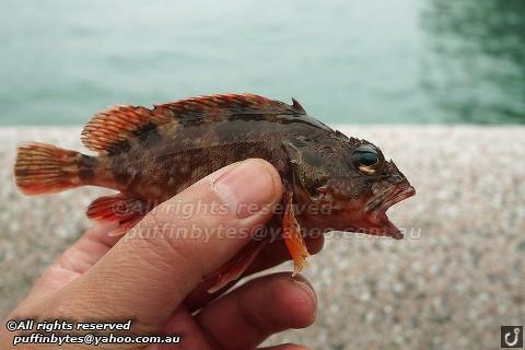 Marbled Rockfish - Sebastiscus marmoratus