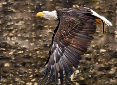eagle birds (Zeeyolq Photography) Tags: birds eagle eagles