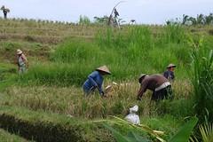 Harvest Time (Keith Mac Uidhir 김채윤 (Thanks for 4m views)) Tags: bali food plant green nature field grass hat indonesia asian island asia asien rice natural paddy farm south farming grain harvest east asie farmer agriculture ricefield indonesian aasia asya á indonesië indonesien ubud balinese harvesting azia azië بالي ásia indonésia インドネシア indonésie 亚洲 バリ島 亞洲 châu indonezja 巴厘岛 印度尼西亚 인도네시아 발리 아시아 endonezya آسيا востраў ázsia азия indonesya ινδονησία indonézia indonezia μπαλί ασία बाली балі indunisia индонезиэ азиэ બાલી