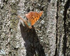 Question Mark 200.NEF (Henryr10) Tags: butterfly butterflies papillon borboleta questionmark mariposa farfalla schmetterling vlinder midsize nymphalidae polygonia bmna polygoniainterrogationis nymphalinae kapelleke flunnerk