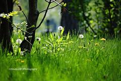 Spring Idyll (Studio281Photos) Tags: park plants sunlight nature grass spring stlouis depthoffield missouri roadkill forestpark dandelions makeawish missourihistorymuseum