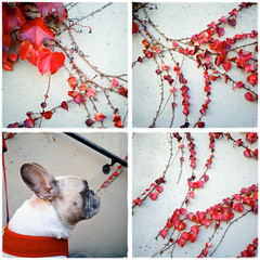 photo 65c - quadriptych (trAvelpig) Tags: dog photoshop vines class multiple redleaves foothill quadriptych exercise7 photo65c