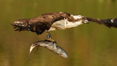 Osprey - Pandion haliaetus (welshmanwandering1) Tags: uk fish eye water birds canon geotagged eos scotland flying blood fishing wildlife lakes tagged birdsinflight loch aviemore raptors ringed osprey lochs birdsofprey wildbirds raasay soundofraasay birdhides ringedbirds
