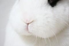 Knubbelgusche :-) (blumenbiene) Tags: pets rabbit bunny wohnung haustier hase kaninchen hasen karnickel zwergkaninchen hotot häsin