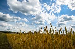 A Wheat Field (aleksandr.kalininskiy) Tags: blue ny newyork field yellow clouds gold wheat wideangle ithaca
