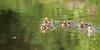 Canetons - Ducklings (VdlMrc) Tags: baby lake bird nature water animal duck nikon eau duckling lac oiseau bébé canard caneton d90 nikkor55300mm