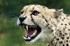 Piss Off! (Megan Lorenz) Tags: uk greatbritain travel england nature cat kent feline britain wildlife teeth angry getty cheetah predator ashford bigcats snarl whf mlorenz meganlorenz photocontesttnc13